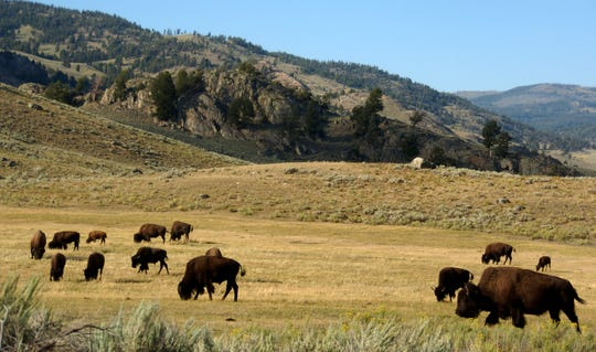 FILE - In this Aug. 3, 2016 file photo, a herd of bison grazes in the Lamar Valley of Yellowstone National Park in Wyo. A study of grazing in Yellowstone National Park found that bison essentially mow and help fertilize their own grass.