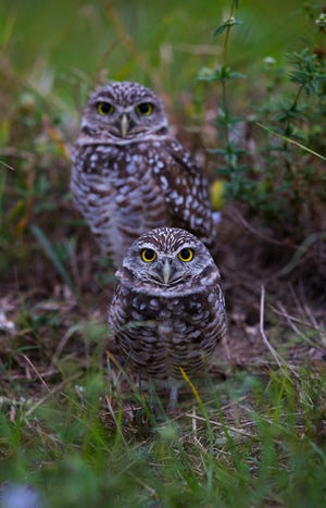 A pair of burrowing owls stand watchful near their burrow on a field off Skyline Boulevard and SW 4th Street in Cape Coral. There's an excellent chance you'll see some on the Nature of Cape Coral Bus Tour.