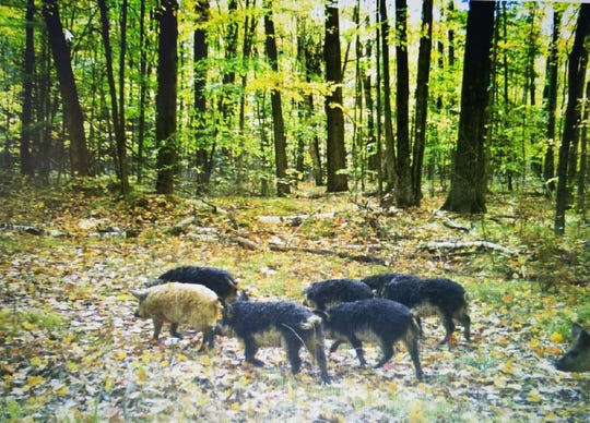 Escaped domestic Mangalica pigs are seen on a trail camera in Oconto County in October.