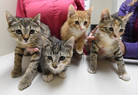 These kittens were brought to Baxter County Animal Clinic after a client found the animals and had no other place to take them.