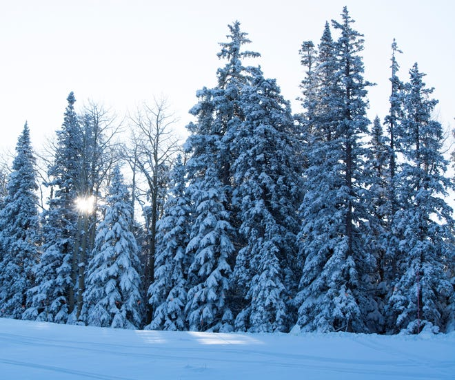 Snow covered trees in Flagstaff on Nov. 22, 2019. The Arizona Snowbowl received 22 inches of fresh snow in the week leading to its season opening.