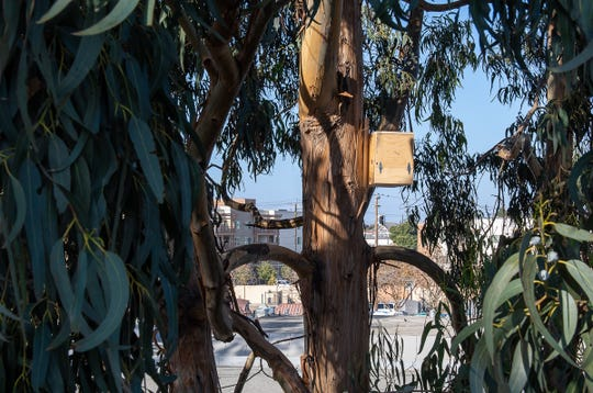 One of the two owl boxes that were placed by Palma High School, student Dino Lazzerini in a eucalyptus tree next to Dorothy's Kitchen on Nov. 21, 2019.