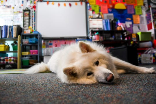 Kaiju the 81 pound samoyed attends Horace Mann Elementary as a therapy dog almost everyday. Students are able to earn points to spend on treats or one-on-one time with Kaiju.