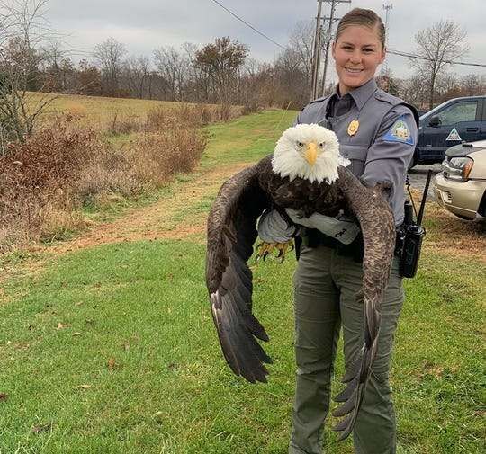 Conservation Agent Haeley Eichler gently holds the injured bald eagle that was found north of Paris, Mo.