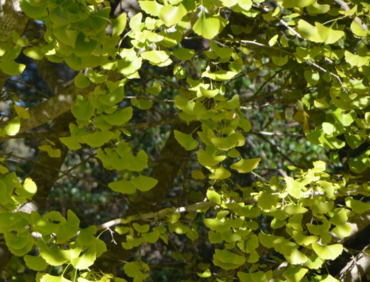 Maidenhair trees are now surrounded by an apron of leaves changing from green to saffron yellow. This native of east China is found occasionally in Tallahassee and the surrounding counties.