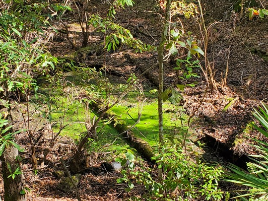 Duckweed sink is a bright green spot in the Apalachicola National Forest.
