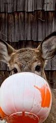 Deer that had a Halloween bucket on its snout in November 2019 in Putnam Valley.