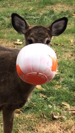 This deer got  stuck in a Halloween  treat basket in Putnam Valley in November 2019.  After several days, the deer was able to shake loose of it after residents got involved.