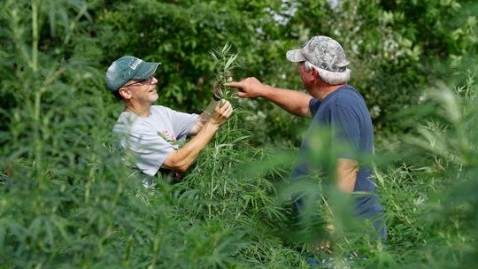 In this Aug. 21, 2019, photo, Jeff Dennings, left, and Dave Crabill, industrial hemp farmers, check plants at their farm in Clayton Township, Mich. The legalization of industrial hemp is spurring U.S. farmers into unfamiliar terrain, tempting them with profits amid turmoil in agriculture while proving to be a tricky endeavor in the early stages. Up for grabs is a lucrative market, one that could grow more than five-fold globally by 2025, driven by demand for cannabidiol. The compound does not cause a high like that of marijuana and is hyped as a health product to reduce anxiety, treat pain and promote sleep.