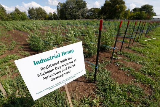 In this Aug. 21, 2019 photo, rows plants are shown at an industrial hemp farm, in Clayton Township, Mich. The legalization of industrial hemp is spurring U.S. farmers into unfamiliar terrain, tempting them with profits amid turmoil in agriculture while proving to be a tricky endeavor in the early stages. Up for grabs is a lucrative market, one that could grow more than five-fold globally by 2025, driven by demand for cannabidiol. The compound does not cause a high like that of marijuana and is hyped as a health product to reduce anxiety, treat pain and promote sleep.