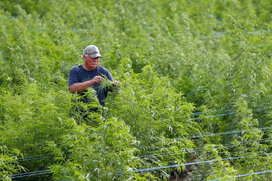 In this Aug. 21, 2019, photo, Dave Crabill, an industrial hemp farmer, checks plants at his farm in Clayton Township, Mich. The legalization of industrial hemp is spurring U.S. farmers into unfamiliar terrain, tempting them with profits amid turmoil in agriculture while proving to be a tricky endeavor in the early stages. Up for grabs is a lucrative market, one that could grow more than five-fold globally by 2025, driven by demand for cannabidiol. The compound does not cause a high like that of marijuana and is hyped as a health product to reduce anxiety, treat pain and promote sleep.