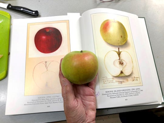 In this Oct. 30, 2019, photo, Joanie Cooper, of the Temperate Orchard Conservancy, compares a rare apple to a 1908 watercolor illustration of the same variety in a U.S. Department of Agriculture book, as she works in her lab in Molalla, Oregon.