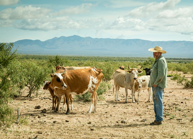 New Mexico State University's College of Agricultural, Consumer and Environmental Sciences received an $8.9 million grant from the National Institute of Food and Agriculture to study ways to improve the sustainability of beef production in the Southwest. The grant will allow Andrés Cibils, project director and professor of rangeland science in the Department of Animal and Range Sciences and his team of ranchers, researchers, educators and Cooperative Extension Service specialists to evaluate three strategies: heritage cattle genetics, precision ranching and novel options for marketing Southwest beef. (Photo courtesy of Julie Davis)