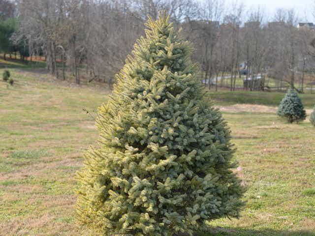 Christmas tree prices: Here's why your