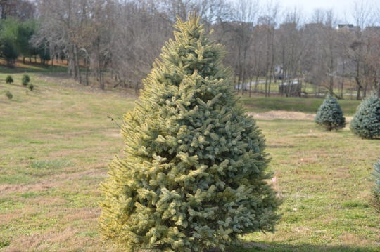 The Springfield Tree Farm located in York has a variety of Christmas trees available for the holidays.