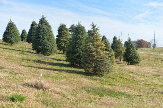 The Springfield Tree Farm in York County has a variety of Christmas trees available.
