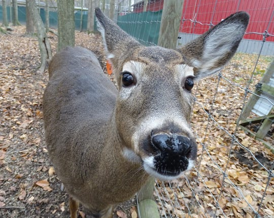 A doe says hello at Wooded Acres Whitetails near Nevada.