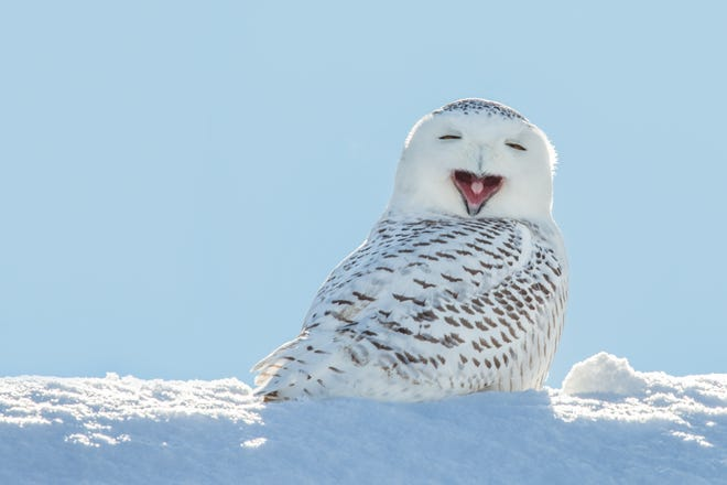 Just in time for winter, snowy owls will descend on Michigan.