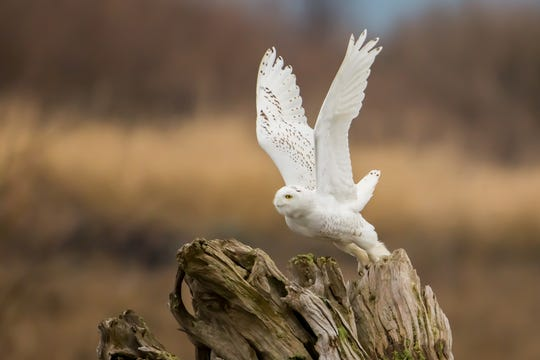 Typically, snowy owls begin to show up in Michigan in December and are gone by March.
