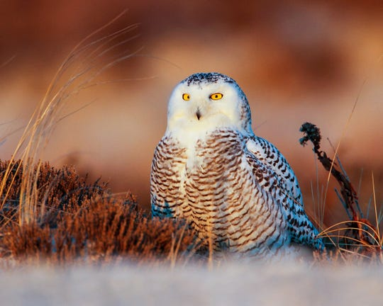 """Michiganders might recognize the area's incoming snowy owls from the """"Harry Potter"""" film series. Hedwig, Harry's pet owl, was of the snowy variety."""