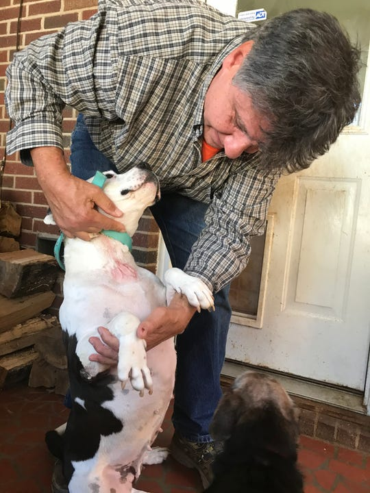 On Monday, Nov. 25, 2019, animal advocate Charlie Dietrich, president of Pet Haven of S.C., holds Diamond, a pit bull he found a year ago in Anderson County whose neck still bears the scars of a tether that grew into his neck.