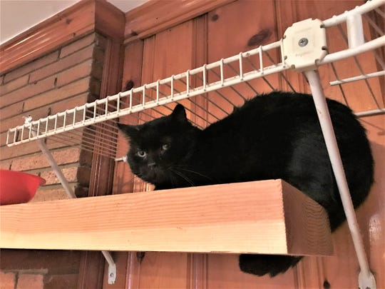 Parker the cat sits on a shelf Monday, Nov. 25, 2019, in the basement of animal advocate Charlie Dietrich's home. Parker was shot over the summer with an arrow, requiring surgery that left a 7-inch scar.