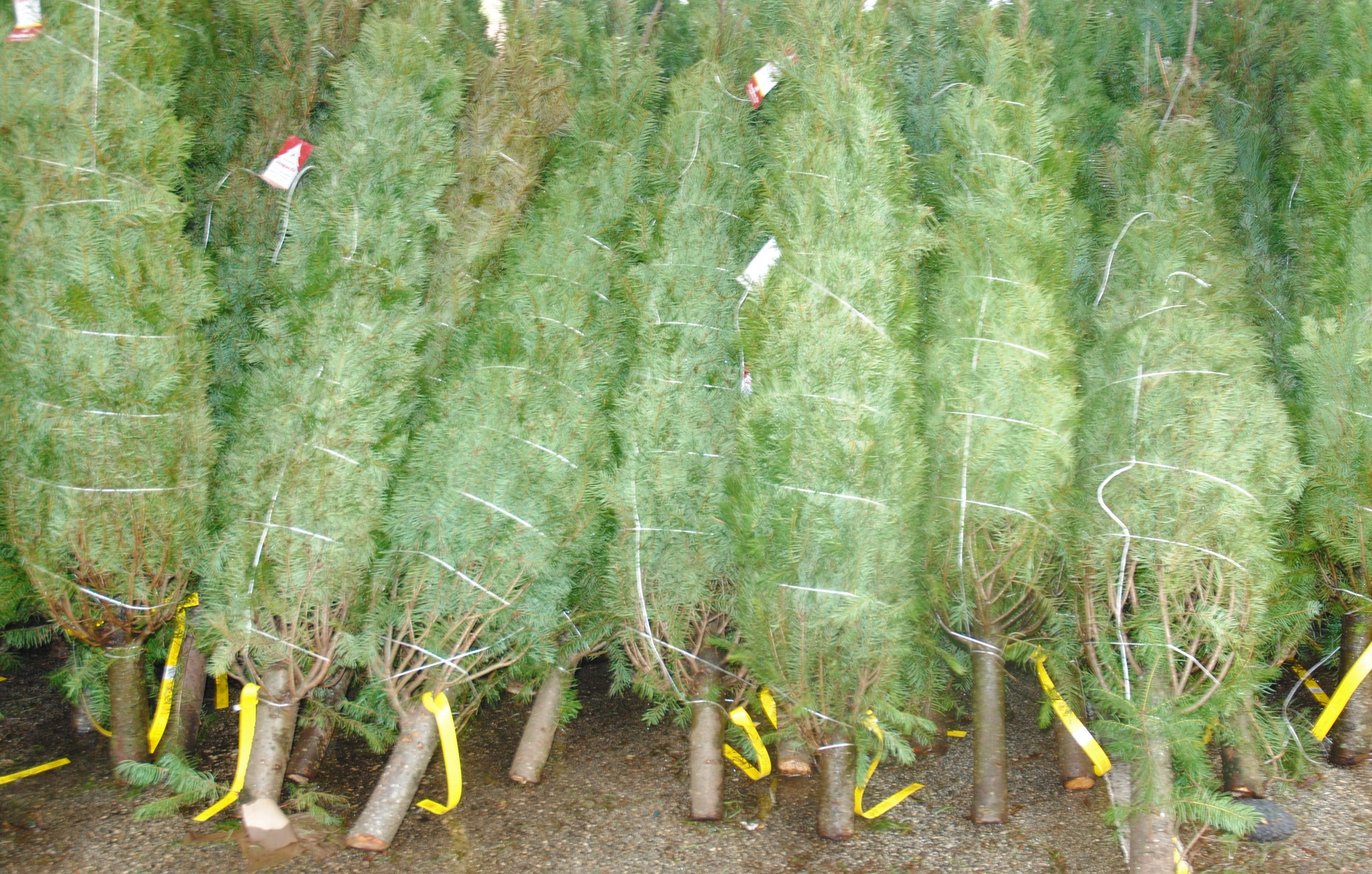 Fresh and fumigated Christmas trees on sale Nov. 25, 2019 at Home Depot, Tamuning, Guam