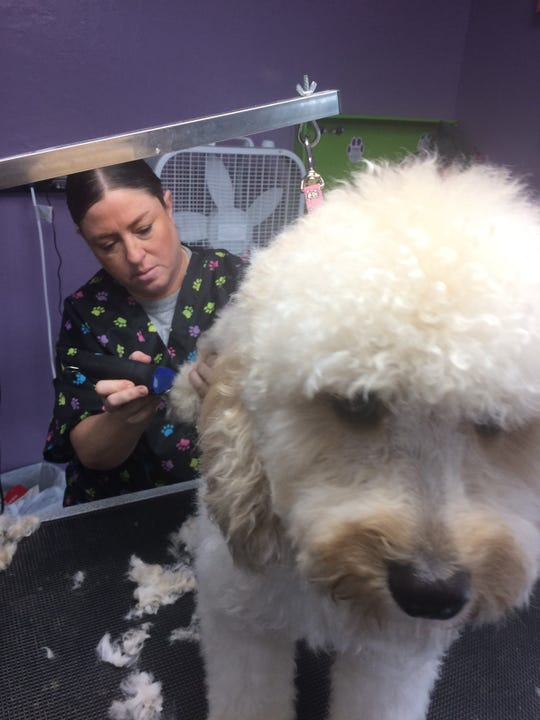 "Jill Shelton applies a grooming session to a ""doodle."""