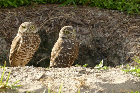 Two owls enjoy a starter burrow in Marco Island on Nov. 22, 2019. The human-made burrow is part of an initiative of Audubon of the Western Everglade's Owl Watch program to create new homes for the small creatures as new construction on empty lots continues to leave them with fewer places to raise their chicks.