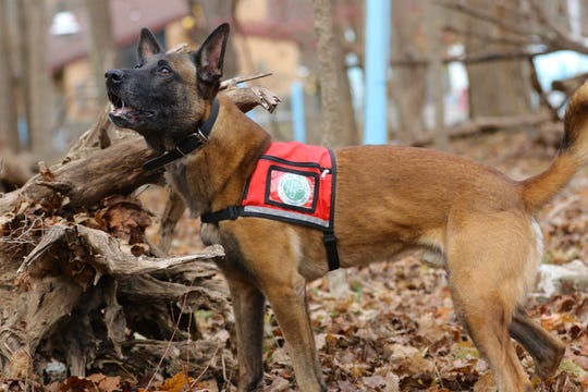 Fagen looks barks to indicate to his handler (not shown) that he has found an invasive species, during a demonstration at the NY/NJ Trail Conference, in Mahwah.   Wednesday, November 20, 2019
