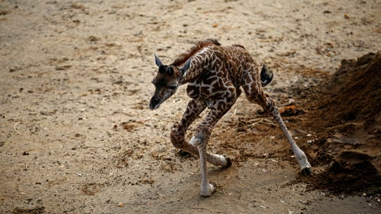 Theo was wobbly in his first days at the Cincinnati Zoo and Botanical Garden. He was born the morning of Nov. 23 to 8-year-old Cece. He was 6 feet tall after a 15-month gestation period and now has been named.