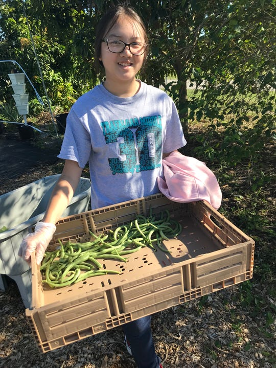 Seventh-grader Joanna Liang, 13, hauls a bin of bush beans from the garden at Trafalgar Middle School. Not only does the garden produce food for the school's cafeteria, but the surplus is donated to the soup kitchen at the Community Cooperative in downtown Fort Myers.