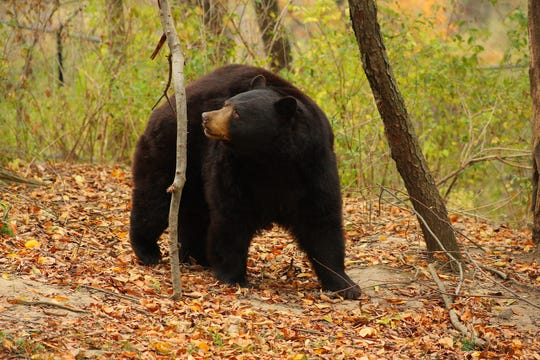 Taz, a North American black bear that was a former resident of a roadside zoo that closed in 2009, at Black Pine Animal Sanctuary a few years later.