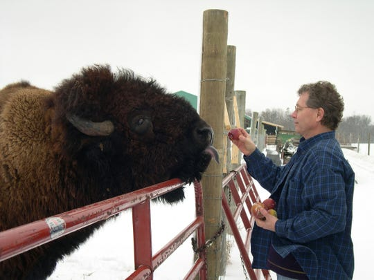 John Trippy, owner of Wild Winds Buffalo Preserve in Fremont, offers a snack to one of the 250 bison on his property in 2012.