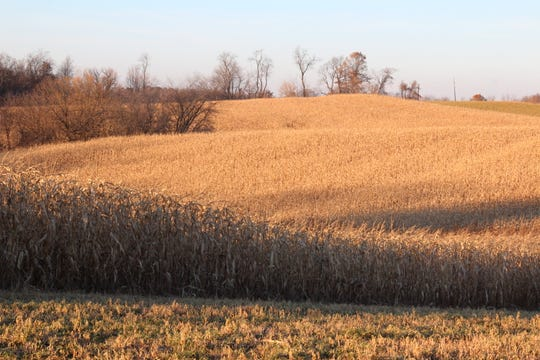 A field of unharvested corn was photographed near Nelson, Wis. on opening weekend of the 2019 Wisconsin gun deer hunting season.
