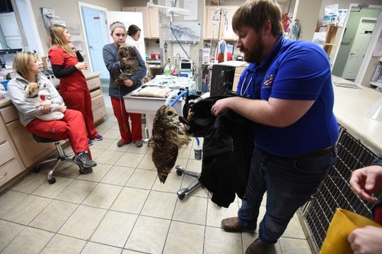 Dr. Lucas Moody works to free an injured Barred Owl from a coat Tuesday at All Creatures Veterinary Hospital. The owl was struck by a car and brought to the hospital by Sgt. Ken Grayham of the Baxter County Sheriff's Office.