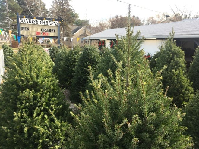 Christmas trees stand tall along Lapeer Road at Sunrise Gardens.