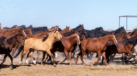 Stallions kick up dust as they run across a corral at the Indian Lakes facility in Fallon.