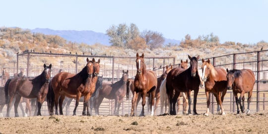 Mustangs stare at visitors to the Indian Lakes Off-Range Wild Horse and Burro Corral in Fallon during a public tour.