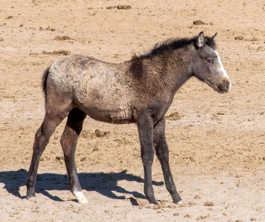 A mustang foal pauses to watch participants on a public tour. The BLM program keeps foals with their mothers until the youngster is weaned.