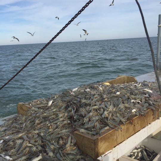 Shrimp are harvested from a new commercial fishery off the coast of Virginia.