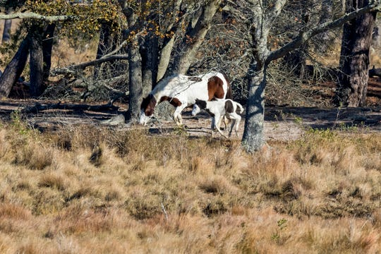 Summer and her yet-unnamed foal, both descendants of the famous Misty, frolic on Assateague Island Nov. 25, 2019. The foal was born Nov. 24.