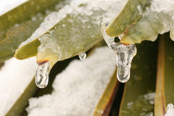 Snow melts and drips from small icicles on the ends of the fronds of a palm tree in St. George in this Spectrum file photo.