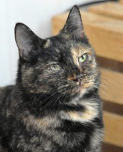 This is Avalon. She is a 5-year-old, domestic shorthair/mix that is looking for her new home. She gets along with other cats but she is a little shy at first with humans. Avalon can be found with all of her cat friends at the Wichita County Humane Society.