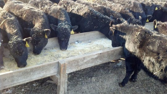 These calves are receiving supplementation during the corral weaning process.
