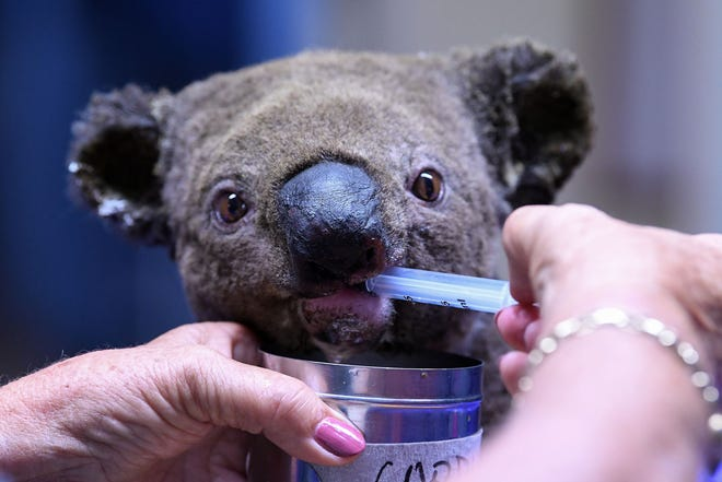 A dehydrated and injured Koala receives treatment at the Port Macquarie Koala Hospital in Port Macquarie on November 2, 2019, after its rescue from a bushfire that has ravaged an area of over 2,000 hectares.