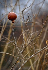 A pomegranate hangs from a tree at Brownwood Area Community Garden. While the time for winter planting has passed, gardeners will soon begin readying themselves for the 2020 growing season.