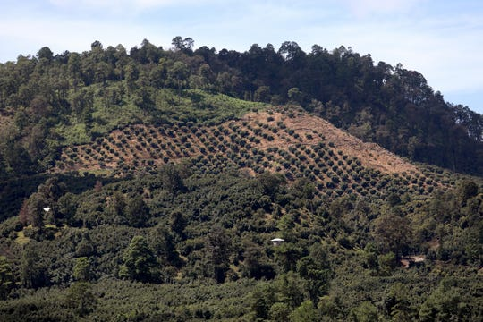 Avocado groves carved into the hillside can be seen from the highway between the towns of Patzcuaro and Uruapan, Michoacan, on Aug. 25, 2019.