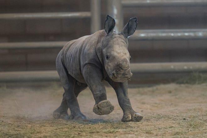 This Monday, Nov. 25, 2019, photo provided by San Diego Zoo Global shows a female southern white rhino calf as she runs around at the Nikita Kahn Rhino Rescue Center in the San Diego Zoo Safari Park, in San Diego.
