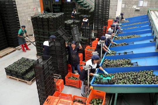 Workers sort avocados for the Mexican market at Frutas Finas de Tancitaro in Tancitaro, Michoacan, on Aug. 24, 2019. The entrance to Tancitaro, a population of roughly 30,000, claims it is the Avocado Capital of the World.